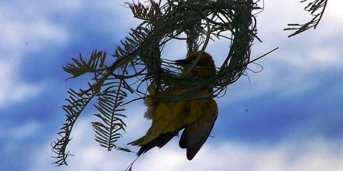 Cape Weaver building nest