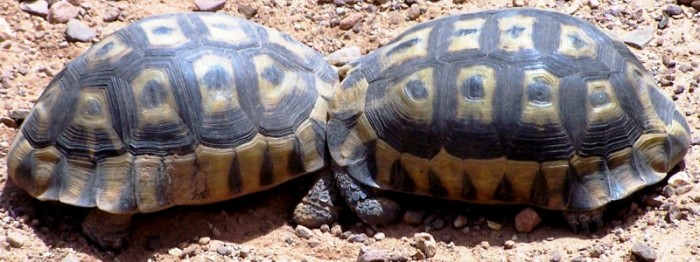 Angulate tortoises