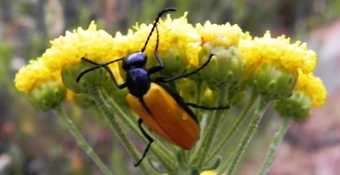 Meloidae - Prolytta coriacea kaszab / Blister Beetle