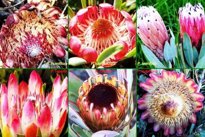 These 6 Protea species are likely to be in flower together during June/July:  P. humiflora, canaliculata, laurifolia, repens, lorifolia & sulphuria.
