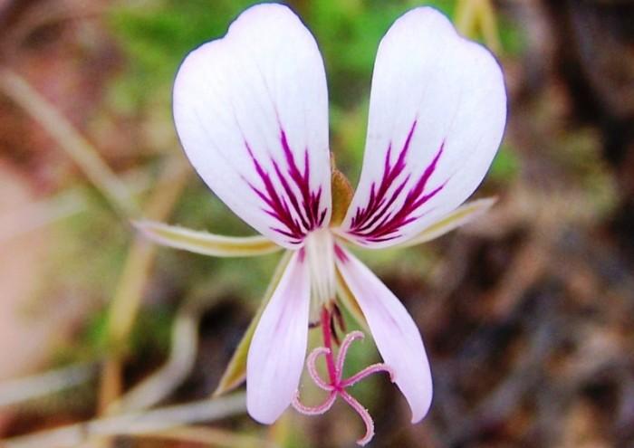 Pelargonium myrhifolium