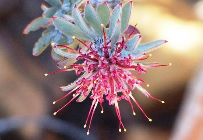 Leucospermum wittebergense