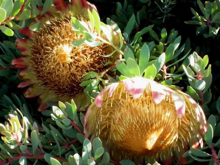 Protea sulphuria