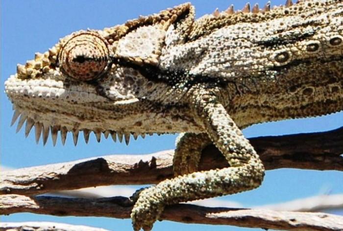 Robertson dwarf chameleon