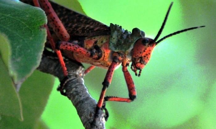 Phymateus morbilossus / Common Milkweed Locust