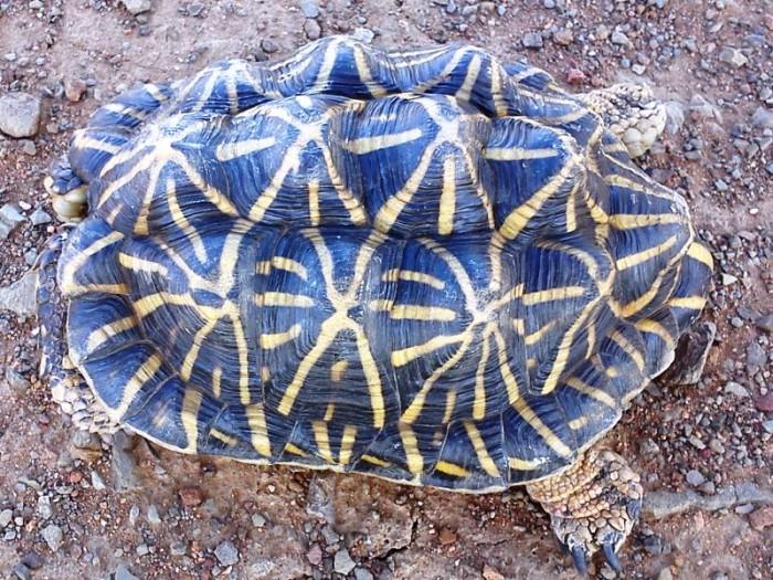 Psammobates tentorius tentorius / Tent Tortoise