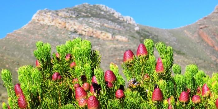 Leucadendron teretifolium