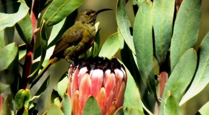 Orange-breasted Sunbird sitting on Protea laurifolia