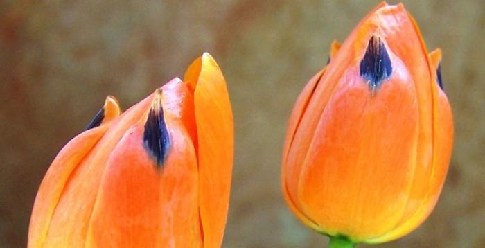 Ornithogalum maculatum / Chincherinchee