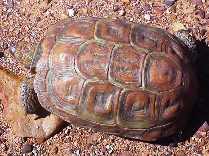 Homopus areolatus / Parrot-beaked Tortoise