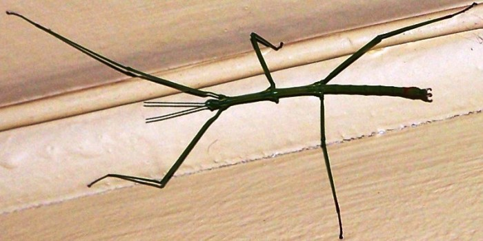 Cape Stick Insect